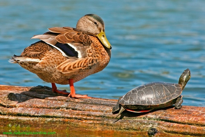 Mallard And Turtle, Swan Lake, Vernon, British Columbia